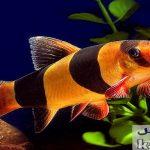 دانلود پاورپوینت ماهی لوچ دلقک