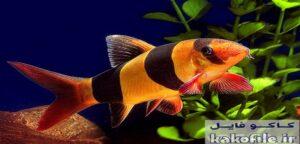 ماهی لوچ دلقک