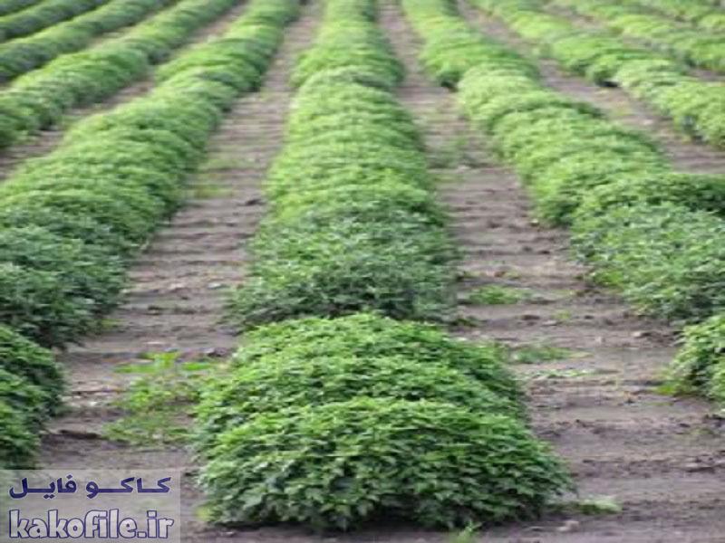 دانلود پاورپوینت اصلاح نباتات- مهندسی ژنتیک
